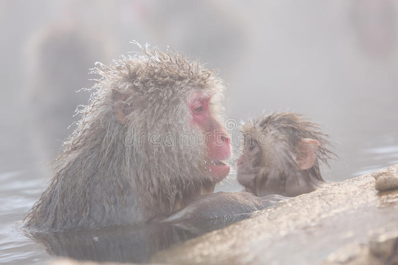 Snow monkeys in a natural onsen (hot spring), located in Jigokudani Park, Yudanaka. Nagano Japan. royalty free stock image