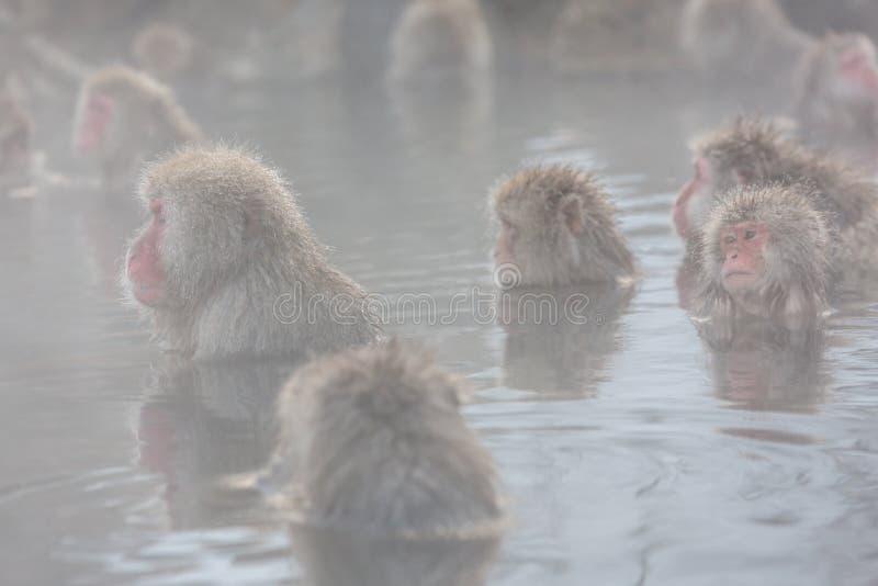 Snow monkeys in a natural onsen (hot spring), located in Jigokudani Park, Yudanaka. Nagano Japan. royalty free stock photo
