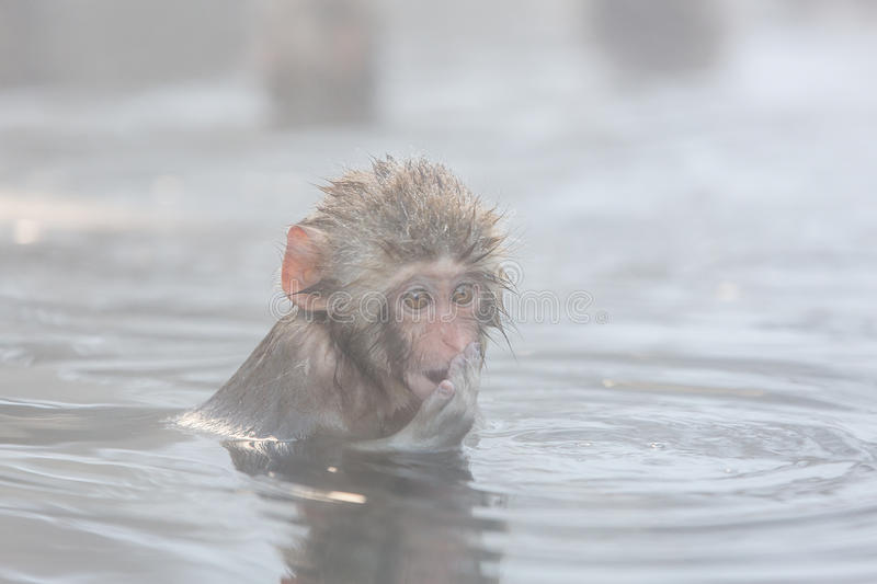 Snow monkeys in a natural onsen (hot spring), located in Jigokudani Park, Yudanaka. Nagano Japan. stock images
