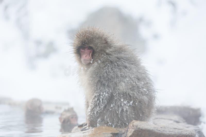 Snow monkeys in a natural onsen (hot spring), located in Jigokudani Park, Yudanaka. Nagano Japan. royalty free stock photography