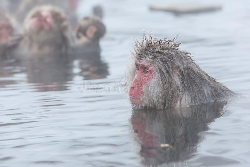 Snow monkeys in a natural onsen (hot spring), located in Jigokudani Park, Yudanaka. Nagano Japan. stock photos