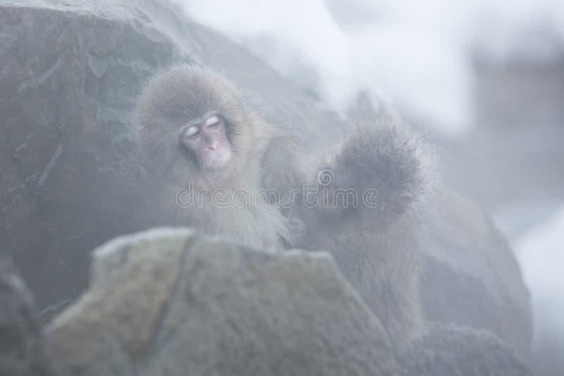 Snow monkeys in a natural onsen (hot spring), located in Jigokudani Park, Yudanaka. Nagano Japan. stock image