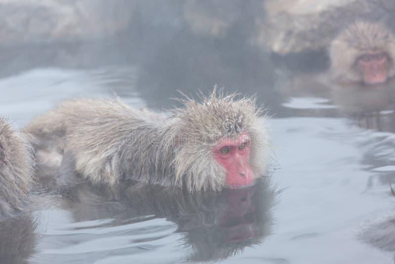 Snow monkeys in a natural onsen (hot spring), located in Jigokudani Park, Yudanaka. Nagano Japan. royalty free stock photos