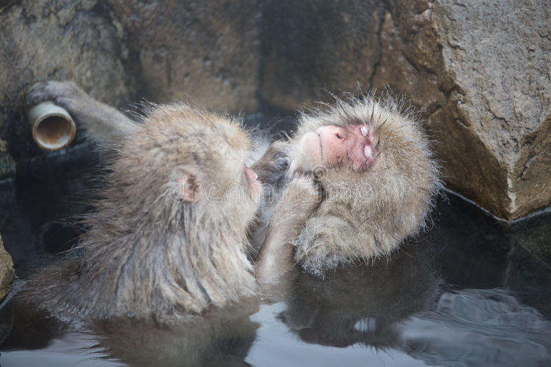 Snow monkeys in a natural onsen (hot spring), located in Jigokudani Park, Yudanaka. Nagano Japan. stock photo