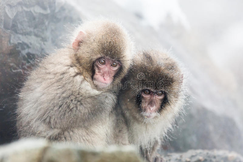 Snow monkeys in a natural onsen (hot spring), located in Jigokudani Park, Yudanaka. Nagano Japan. royalty free stock photography