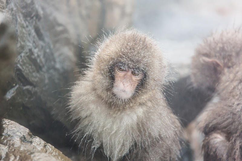 Snow monkeys in a natural onsen (hot spring), located in Jigokudani Park, Yudanaka. Nagano Japan. royalty free stock images