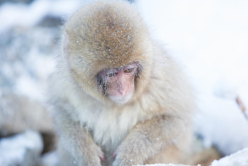 Snow monkeys in a natural onsen (hot spring), located in Jigokudani Park, Yudanaka. Nagano Japan. stock images