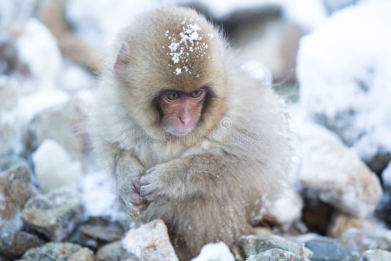 Snow monkeys in a natural onsen (hot spring), located in Jigokudani Park, Yudanaka. Nagano Japan. royalty free stock image