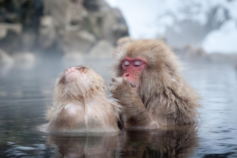 Snow Monkeys in Onsen. The famous Snow Monkeys (Japanese Macaques) bathe in the onsen hot springs of Nagano, Japan royalty free stock photo