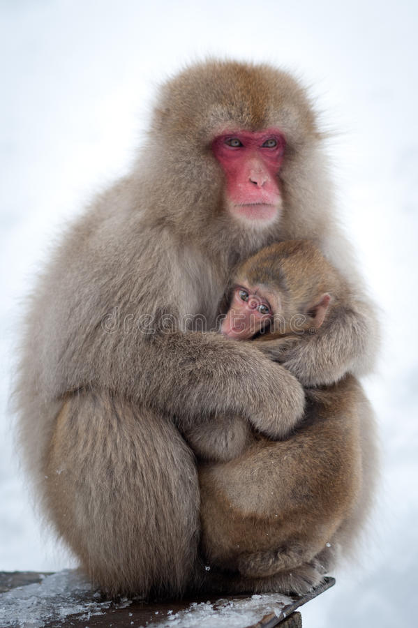 Snow Monkeys in Onsen. The famous Snow Monkeys (Japanese Macaques) bathe in the onsen hot springs of Nagano, Japan stock images
