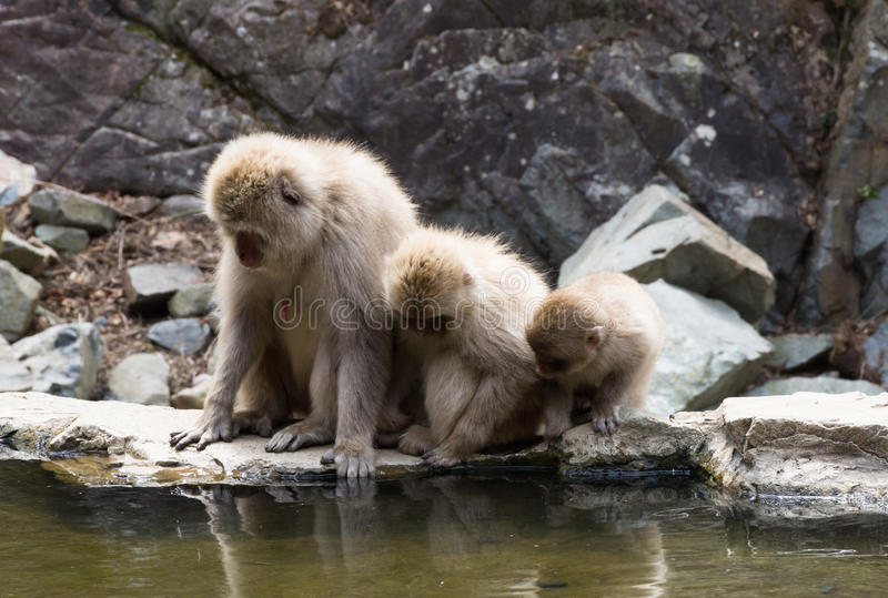Snow Monkeys Peering Into Water. Close up of three snow monkeys or Japanese macaques peering into the water of a hot spring at their reflections royalty free stock image