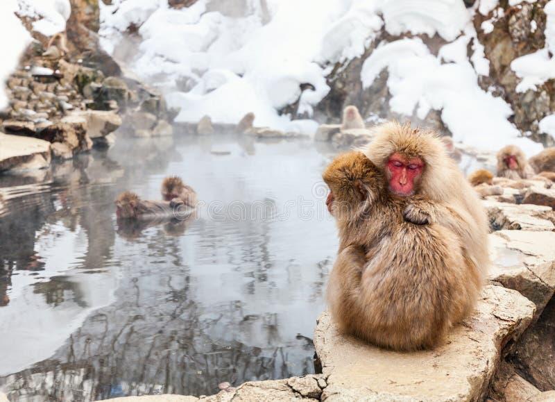 Snow Monkeys. Japanese Macaques bathe in onsen hot springs of Nagano, Japan royalty free stock photos