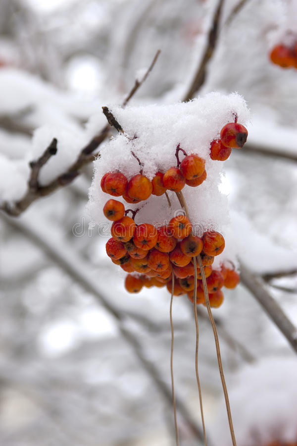 Snow on mountain ash berries. A close up of snow layered over a cluster of mountain ash berries stock images