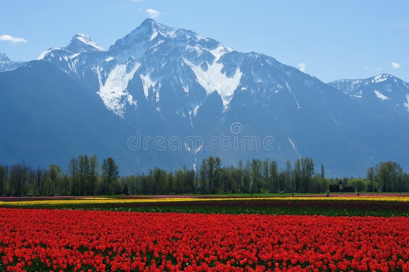 Snow mountain and tulip field stock photo