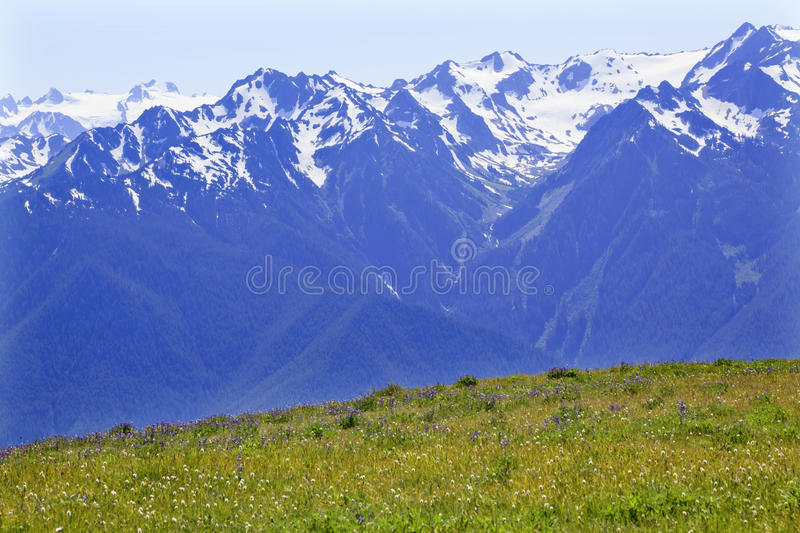 Snow Mountains Hurricane Ridge Olympic Park. Snow Mountains Hurricane Ridge Olympic National Park Washington State Pacific Northwest Wildflowers Green Valleys royalty free stock photography