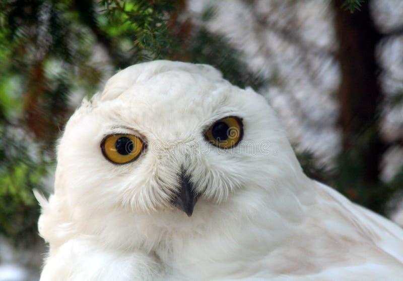 Snow owl 3 stock photos