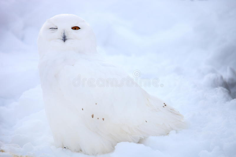Snow owl. Sit on snow in winter