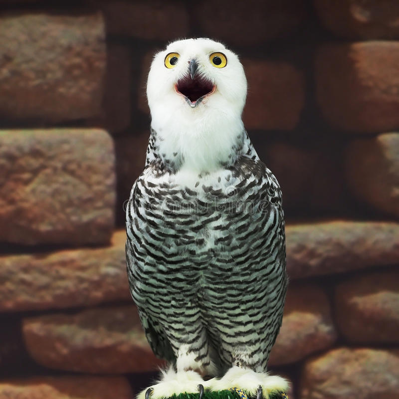 Free Snow Owl Stock Images - 48081974
