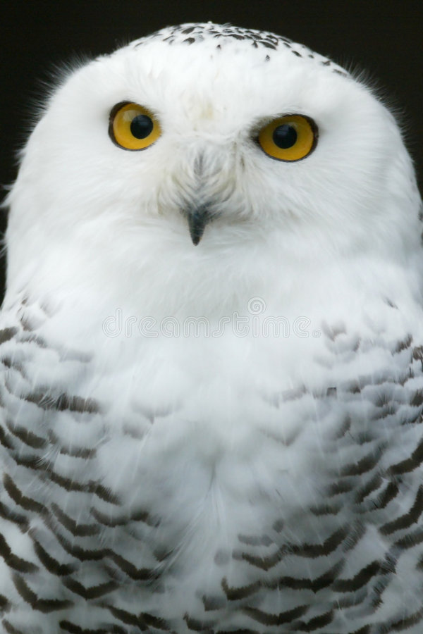 Free Snow Owl Stock Photography - 6852272