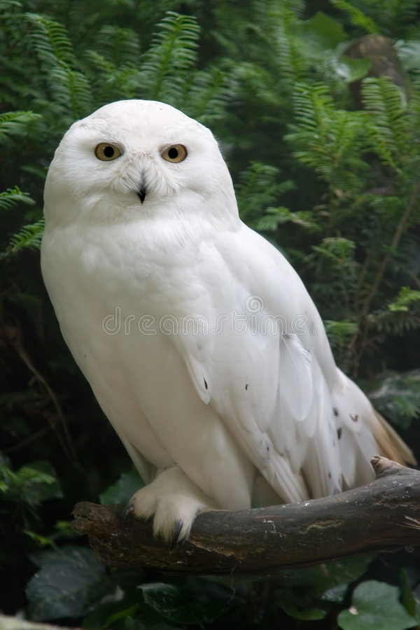 Snow owl stock photography