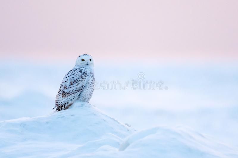 Snowy Owl Bubo scandiacus in winter stock images