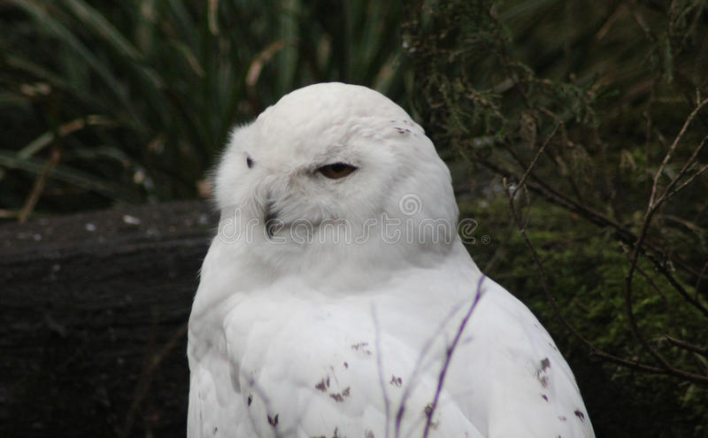 Snow owl on ground royalty free stock images