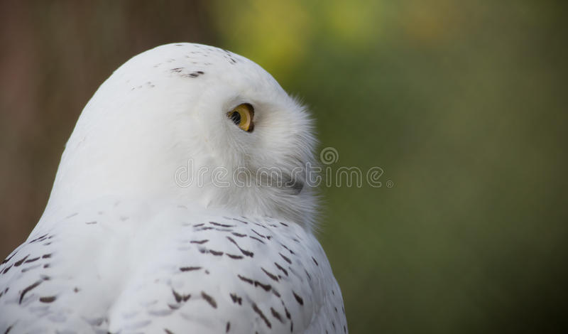 Download Snow owl stock photo. Image of thoughtful, nature, wildlife - 34985126