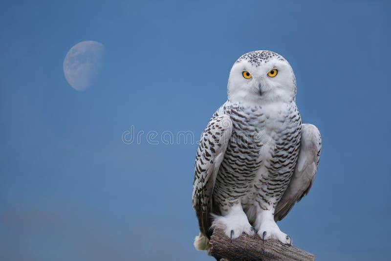 Snow owl portrait. Close up shot of snow owl portrait