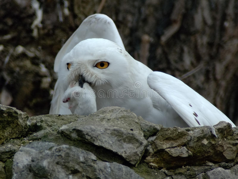 Download Snow owl with prey stock photo. Image of yellow, hunt - 12566496
