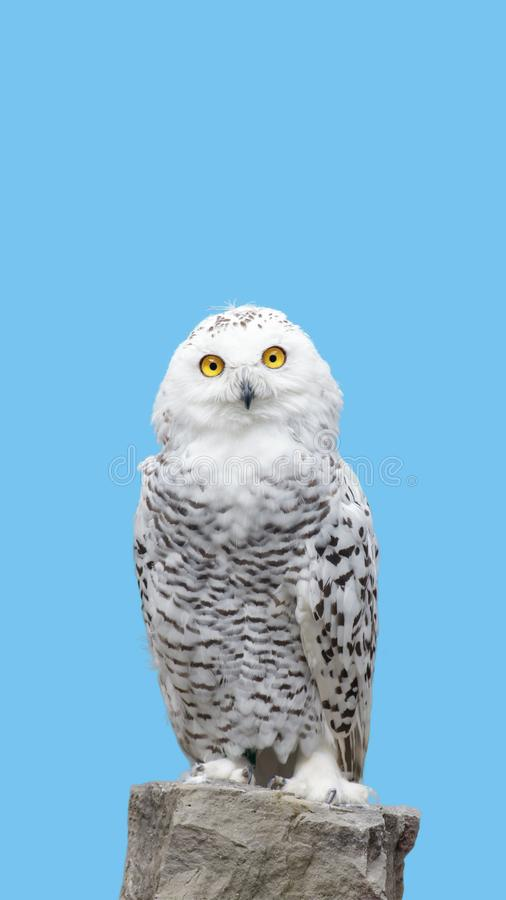 Download Snow owl stand on rock stock image. Image of head, profile - 104705973