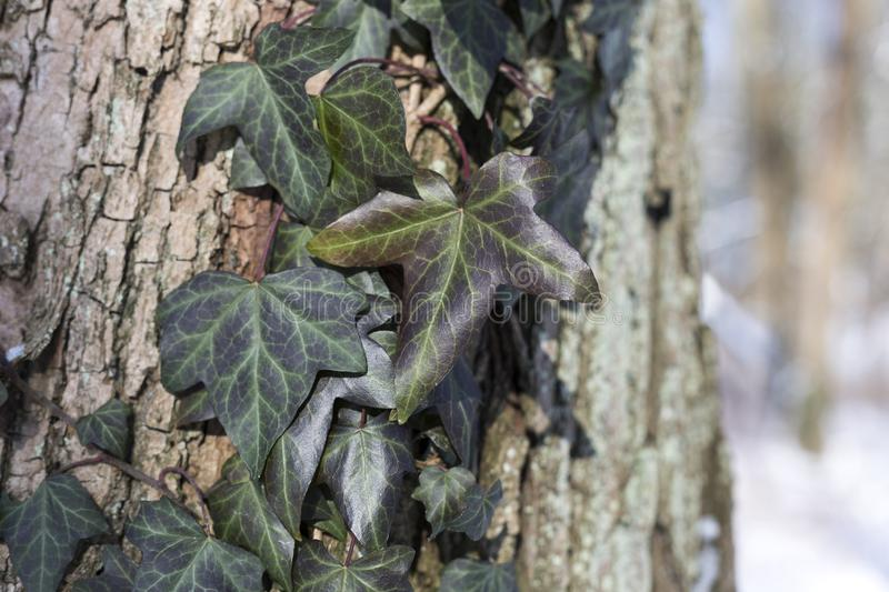 Snow in the park is a bright sunny happy winter day. Ivy on the bark of a tree. royalty free stock image