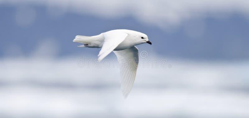 Snow Petrel in Flight