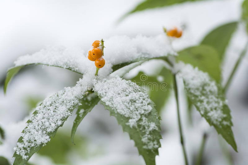Snow piled up Senryo. Chloranthus glaber Makino leaves and yellow fruit stock images
