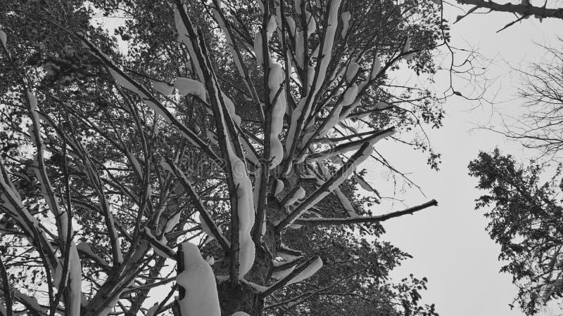 Snow on pine branches. Black, white, nature, sky, season, winter royalty free stock image
