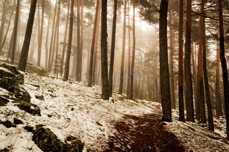 Snow in the pine forest. Mysterious scene. Path through a golden forest with fog and warm light. Snow in the pine forest. Mysterious scene royalty free stock images