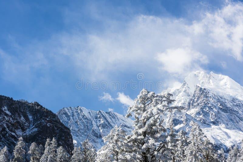Snow pine and Gongga snow mountain royalty free stock image