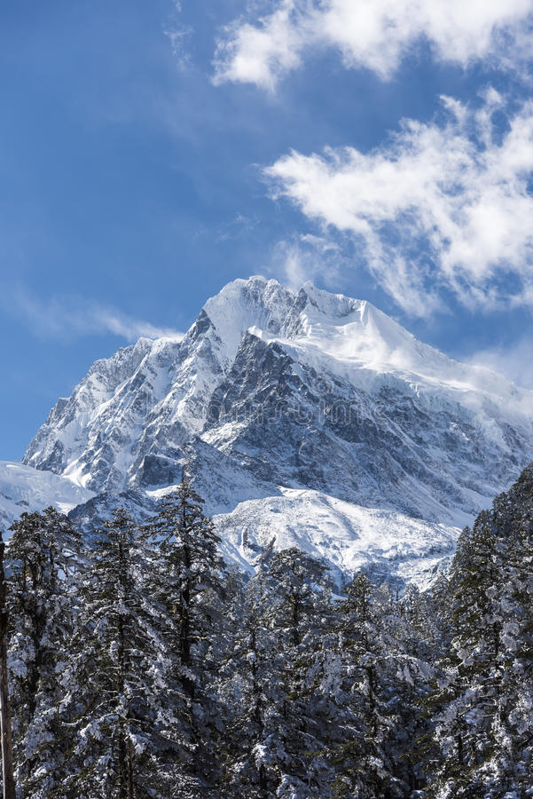 Snow pine and Gongga snow mountain royalty free stock photography