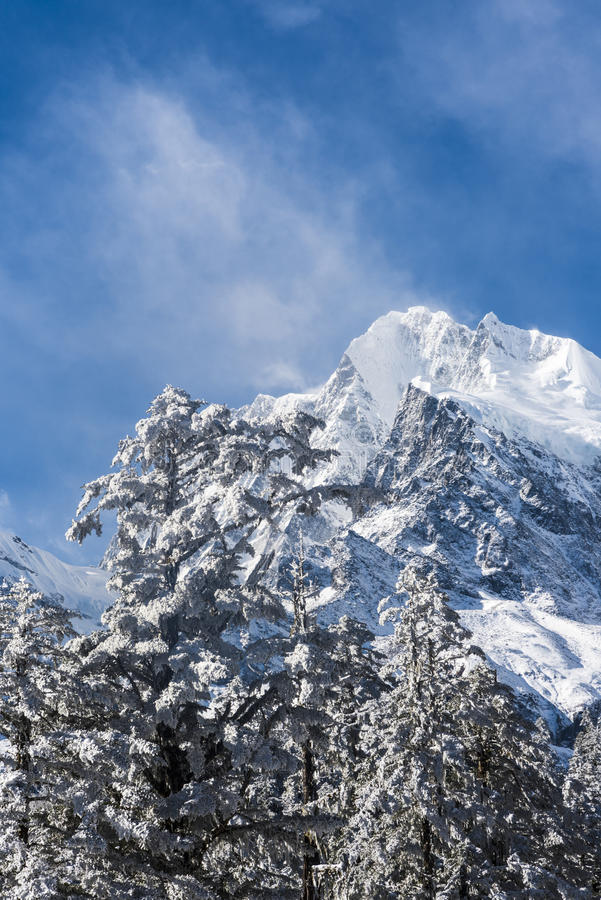 Snow pine and Gongga snow mountain stock photo