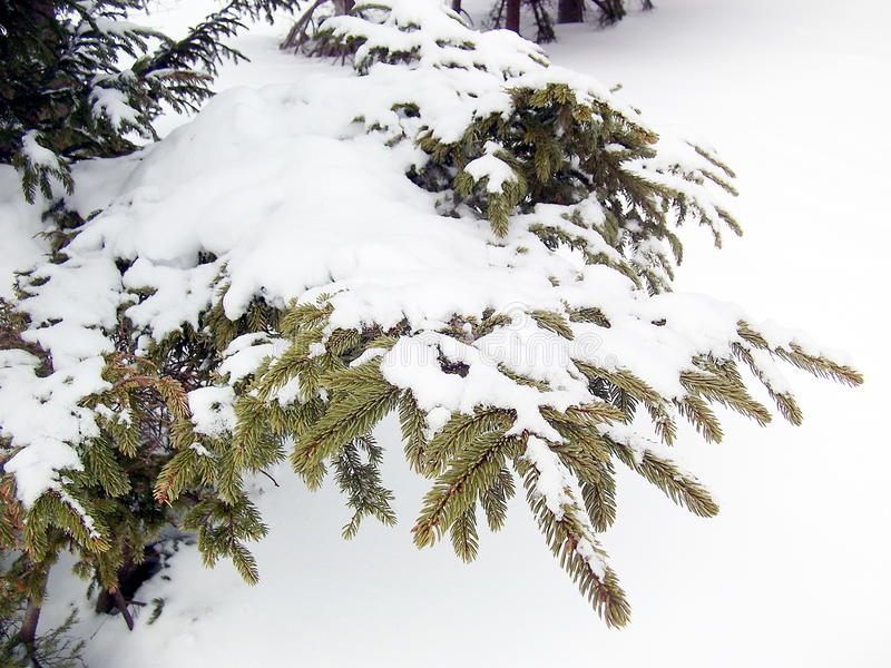 Snow on the pine leaf royalty free stock photos