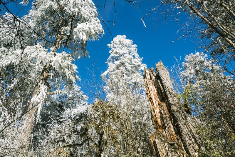 Snow pine stock photography