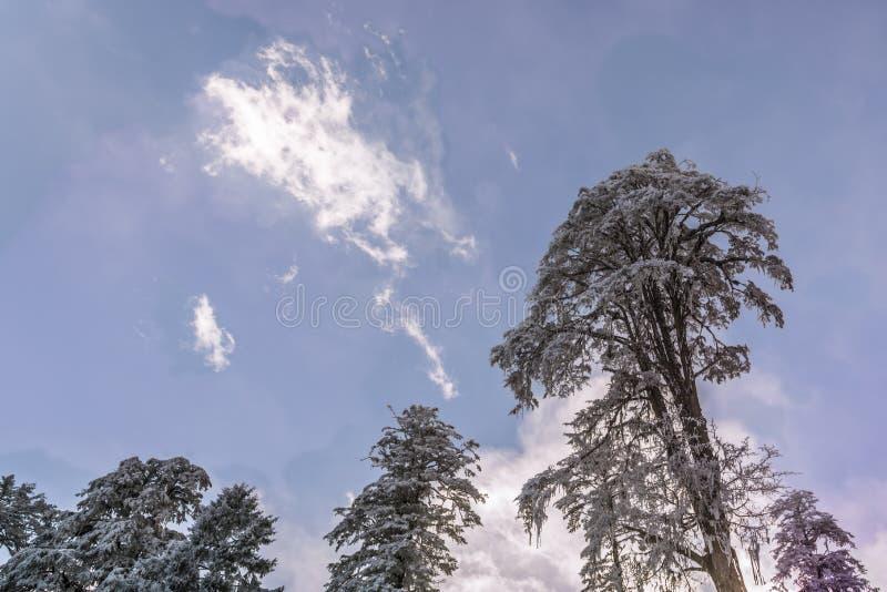 Snow pine stock photos