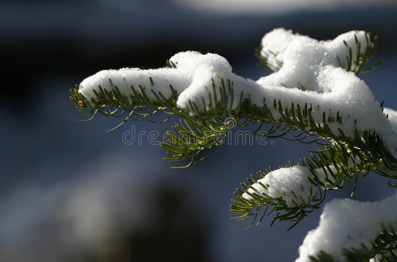 Snow On Pine Needles. Fresh fallen snow on a small branch of pine. Nice for holidays, Christmas, nature and more. Shallow depth for effect royalty free stock images