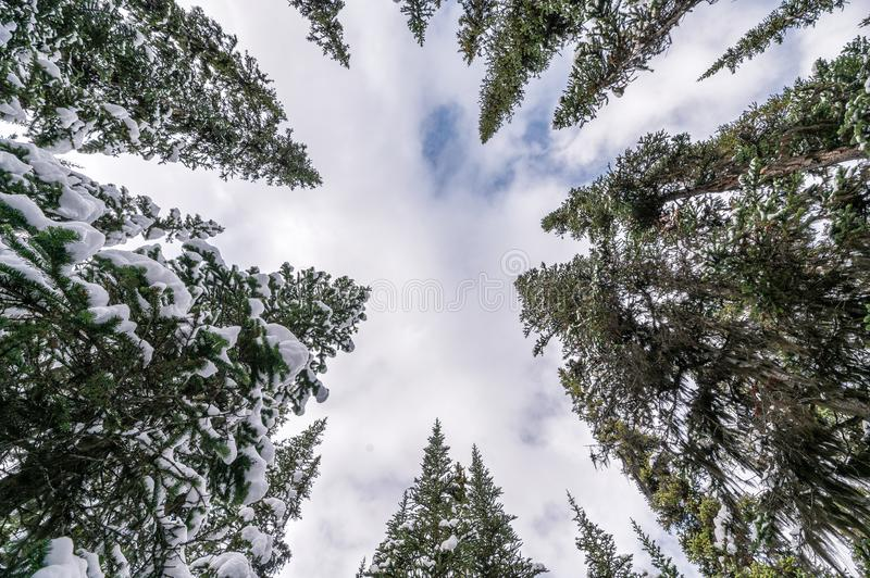 Snow on pine trees with cloud in blue sky background stock photo