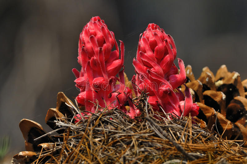 Snow Plants and Pine Cones, Lassen Volcanic National Park stock photo
