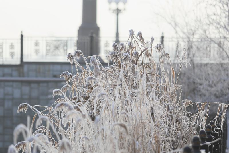 Snow reeds by the river. In the city park. ice covered reeds stock photo