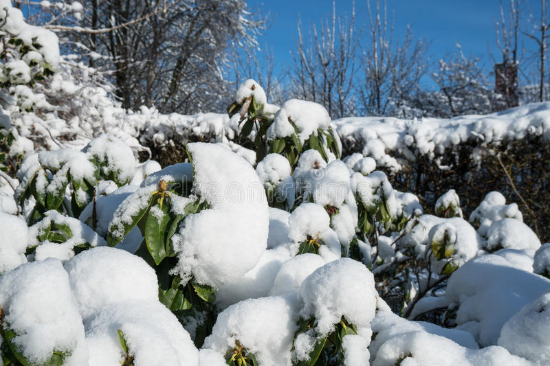 Snow on rhododendron in winter stock photo