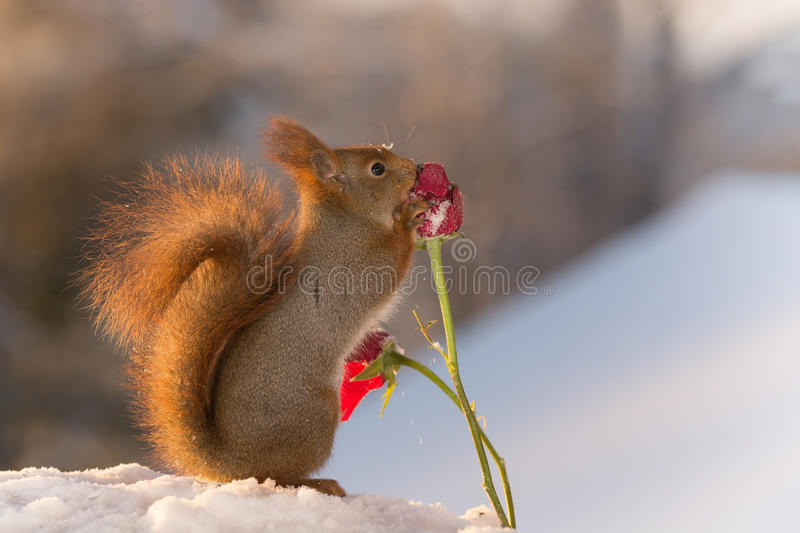 Download Snow Rose Touch Stock Photo - Image: 83709165