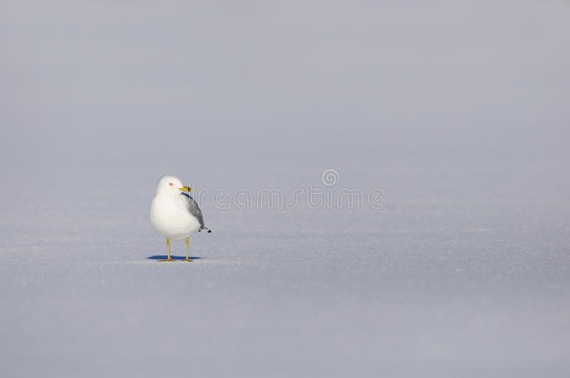 Download Snow seagull stock photo. Image of white, cold, herring - 13315736