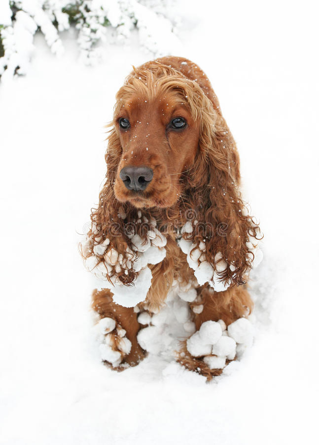 Download Snow spaniel stock image. Image of winter, breed, snowballs - 12770943