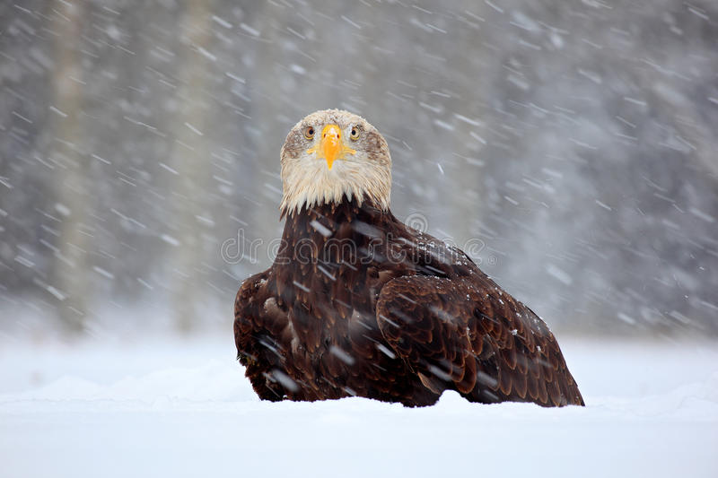 Snow storm with bald eagle. Snowflakes with Haliaeetus leucocephalus, portrait of brown bird of prey with white head, yellow bill. Snow storm with bald eagle royalty free stock photography